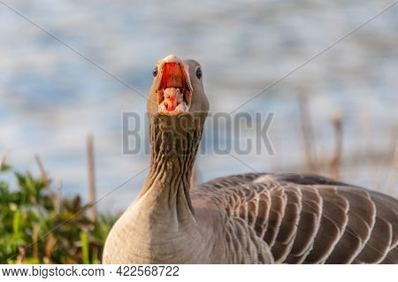 Very Angry Greylag Goose. Greylag Goose Anser Anser Hissing To Protect Flock