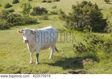 Portrait Of White Cow On A Green Farm Of Mountain