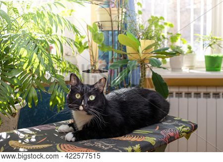 Black And White Cat Lying On Ironing Board Before Sunlit Window With Green Indoor Plants And Looking