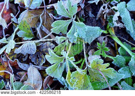 Leaves With Frost Crystals. Leaves Covered With Frost In The First Autumn Frosts, Abstract Natural B