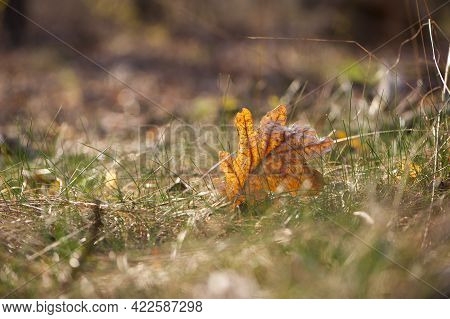 Autumn Leaf Lies In Dry Grass. A Dried Oak Leaf Lies On The Grass. Autumn Leaf Close-up. Faded Autum