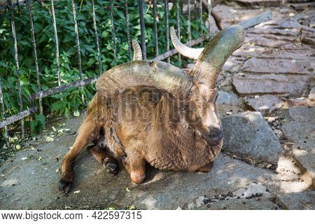 Dagestan Tour (lat. Carpa Cylindricornis) Is Brown In Color With Large Beautiful Horns On The Rocks