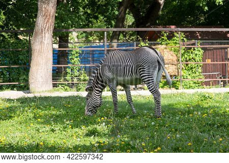 The Zebra Grevi (latin: Equus Grevyi) Stands In A Field With A Beautiful Striped Color Against The B