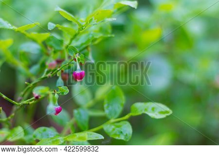 Blooming Blueberries In The Forest In Spring. Small Maroon Flowers Blueberries Among The Green Folia