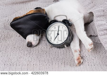 Dog Jack Russell Terrier In A Sleep Mask Sleeps In An Embrace With An Alarm Clock Under A Gray Blank