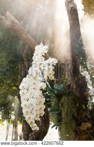 Branch Of White Phalaenopsis Orchids  On A Big Green Tree In Natural Garden.