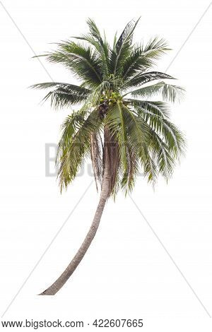 The Coconut Tree Isolated On White Background.