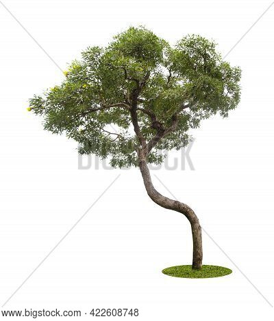 The Big Tree Isolate On White Background.