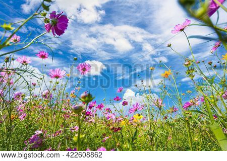 Colorful Cosmos Blooming In The Beautiful Garden Flowers On Hill Landscape Mountain And Summer Blue