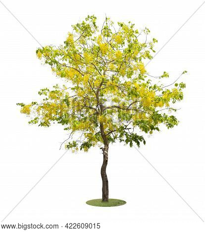 Cassia Fistula Tree Or Golden Shower National Tree Of Thailand And Isolated On White Background.