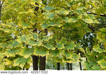 Green And Yellow Leafage Of Norway Maple In October
