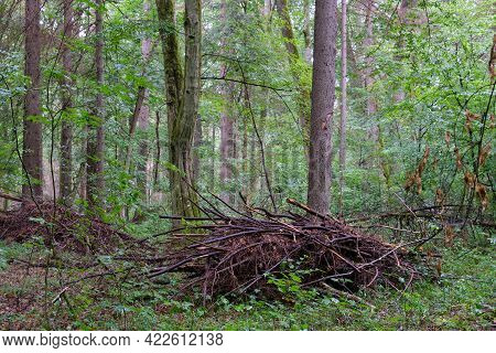 Oak Tree Broken Branches Lying Over Ground Almost Completly Moss Covered, Bialowieza Forest, Poland,