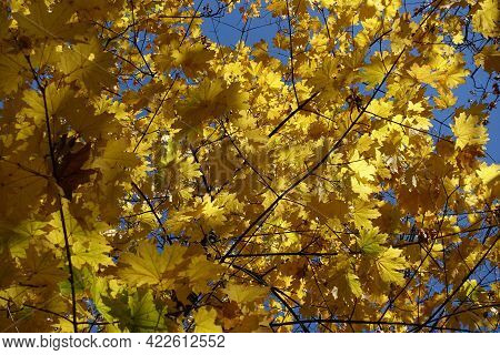 Vibrant Amber Yellow Autumnal Leafage Of Norway Maple Against Blue Sky In Mid October
