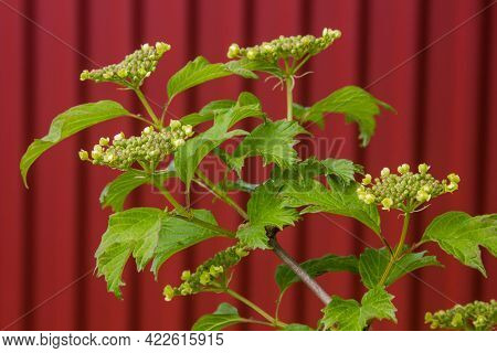 Viburnum Blooms In The Garden In The Sun. Green Leaves Adorn The Bush.