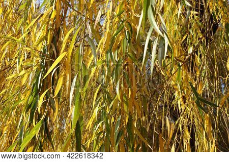 Leafage Of Weeping Willow Tree In Mid November