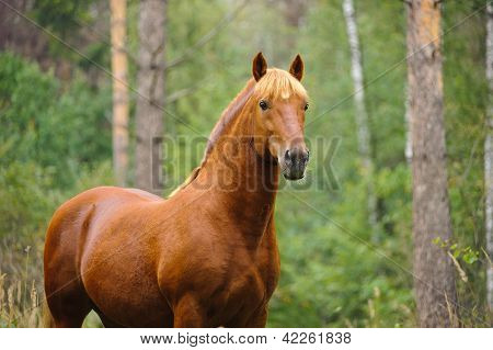 Chestnut Horse Portrait in pine summer forest