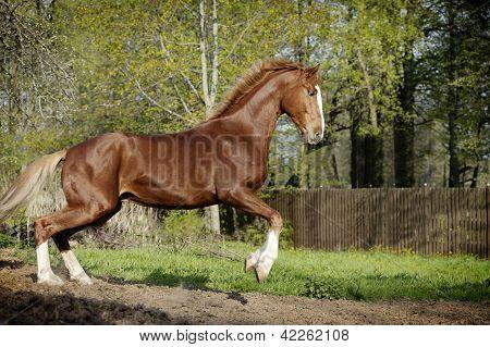 Amazing chestnut orlov horse with blond hair running alone