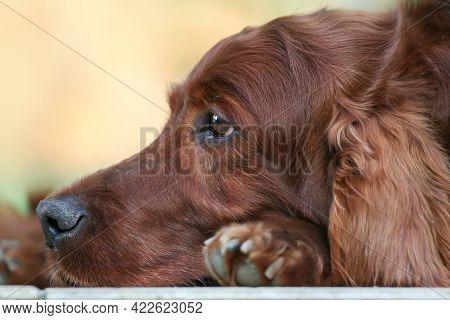Face Of A Beautiful Old Thinking Irish Setter Pet Dog