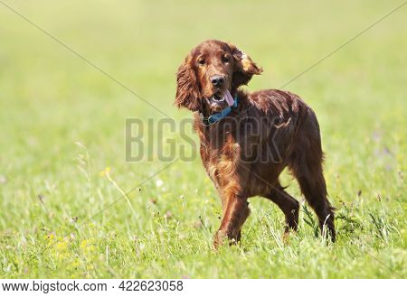 Happy Cute Funny Irish Setter Dog Puppy Listening Ears And Panting In The Grass. Summer Walking, Pet