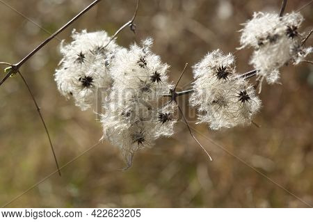 Wild Clematis Flowers In Close Up. Also Known As Old Mans Beard Or Travellers Joy. Clematis Vitalba