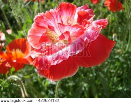 Red Poppy Flowers With A Bee And Wheat Fields On The Background.