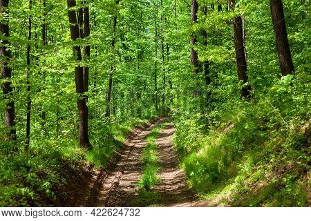 Forest Way In Summer . Road Path Through Summer Deciduous Green Forest