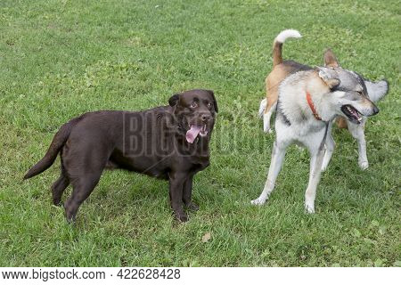 Czechoslovak Wolfdog, English Beagle Puppy And Labrador Retriever Puppy Are Playing On A Green Grass