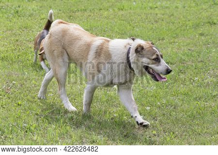 Central Asian Shepherd Dog Puppy Is Walking On A Green Grass In The Summer Park. Pet Animals. Purebr