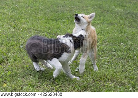 Akita Inu Puppy And Border Collie Puppy Are Playing On A Green Grass In The Summer Park. Four Month