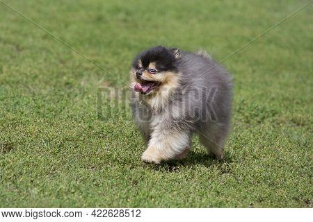 Cute Pomeranian Spitz Puppy Is Running On A Green Grass In The Summer Park. Deutscher Spitz Or Zwerg
