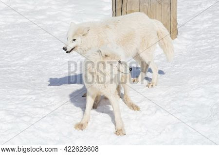 Two Wild White Wolves Are Playing On White Snow. Canis Lupus Arctos. Polar Wolf Or Alaskan Tundra Wo