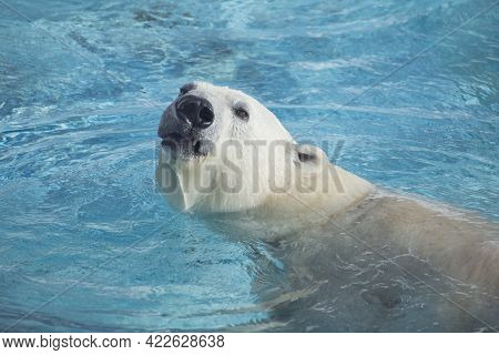 Big Polar Bear Is Looking And Swimming In The Blue Water. Head Close Up. Ursus Maritimus Or Thalarct