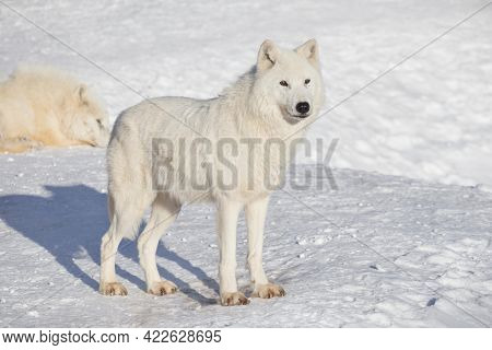 Wild Polar Wolf Is Standing On White Snow. Canis Lupus Arctos. White Wolf Or Alaskan Tundra Wolf. An
