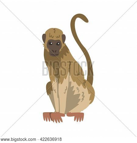 Capuchin Monkey As Omnivorous Ape With Light Brown Back And Creamy Underside Vector Illustration