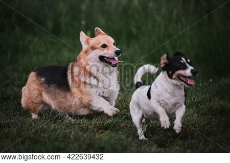 Walk In Park With Two Purebred Dogs. Pembroke Tricolor Welsh Corgi And Black And White Smooth Haired