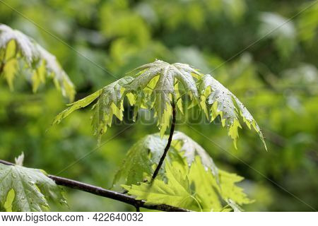 Spring Leaves Of A Silver Maple Tree, Acer Saccharinum