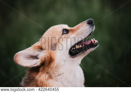 Walking With Dog In Nature. The Worlds Smallest Shepherd Dog. Welsh Corgi Pembroke Tricolor Sits On