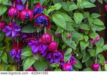 Detail Of The Flowering Of A Fuchsia Triphylla Plant
