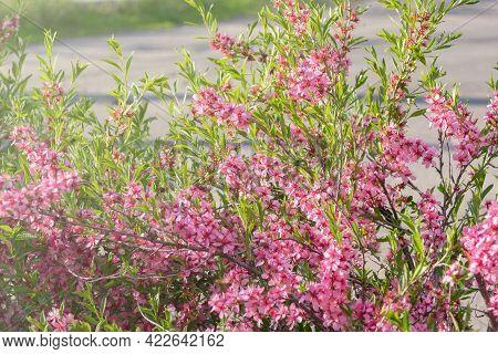 Delicate Pink Flowers Of Prunus Persica In Sunlight. Blooming Fruit Tree. Gardening.
