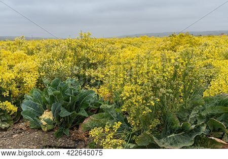 Lompoc, Ca, Usa - May 26, 2021: Side Closeup Of Yellow Blooming Cauliflower Plants, Raised For Seeds