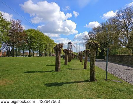 Trees In Row In Brugges, Belgium In Spring On Very Beautiful Day