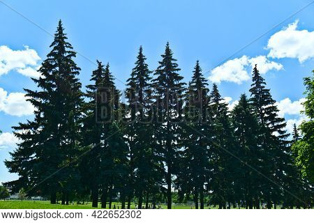 A Group Of High Pine Tress With A Background Of Cloudy Blue Sky On A Sunny Summer Day In Jarry Park,