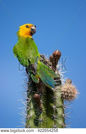 Brown-throated Parakeet On The Tropical Island Of Bonaire, Part Of The Caribbean Netherlands.