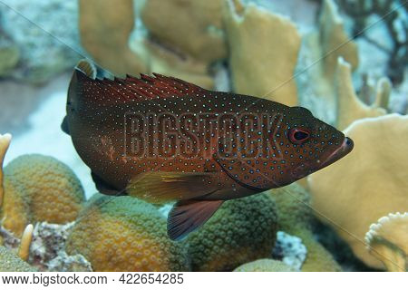 Coney Grouper On Coral Reef Off The Tropical Island Of Bonaire In The Caribbean Netherlands.