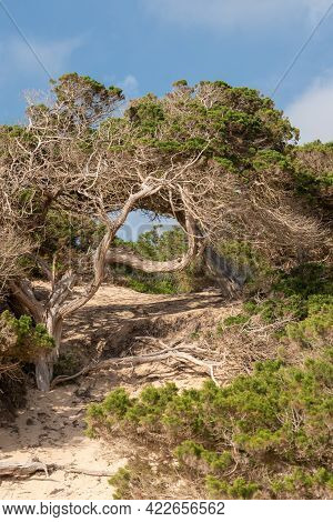 Tree Called Savina On The Formentera Beach Of Calo D Es Mort In The Balearic Islands.