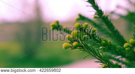 Fir Branch With Green Buds, With Fresh Shoots In Spring. Young Growing Fir Tree Sprouts On Branch In