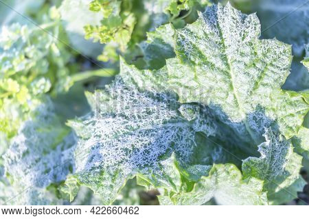 Green Plants Covered With Frost As A Background