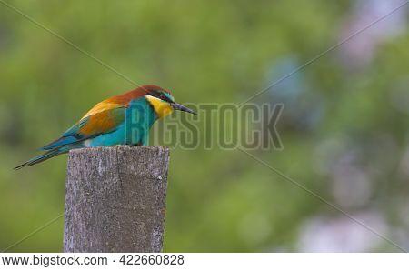 An Adorable Bird, The European Bee-eater Sits Atop A Wooden Pillar. Wildlife Shot. European Bee-eate