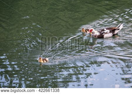 White And Black Duck With Red Head, The Muscovy Duck, Swims In The Pond With Its Cute Little Ducklin