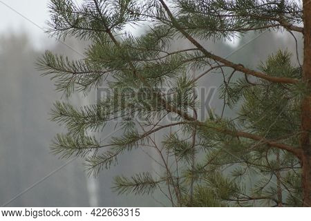 Abstraction Of A Pine Branch Needles In Fog . Pine Branches In The Morning Fog. Profile Of Branches